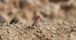 Palestian-Rose-Finch